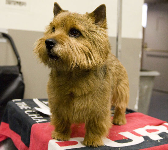 Dog Ready For Adoption Poodle Miniature Cairn Terrier ...