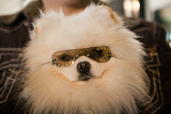 Pictures of Pomeranian Louis Vuitton Wearing Rhinestone Sunglasses