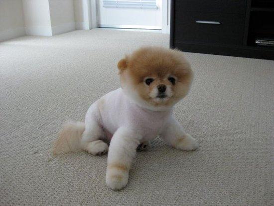 Boo Haircut Pomeranian Dog