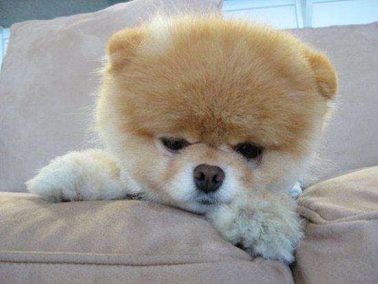 Boo Pomeranian Puppy