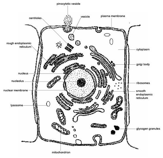 animal cell and plant cell differences. Animal Cell Plant Cell