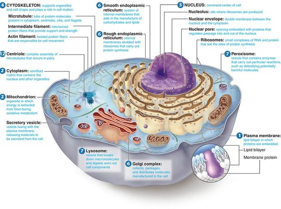 animal cell and its functions. its functions. animal cell