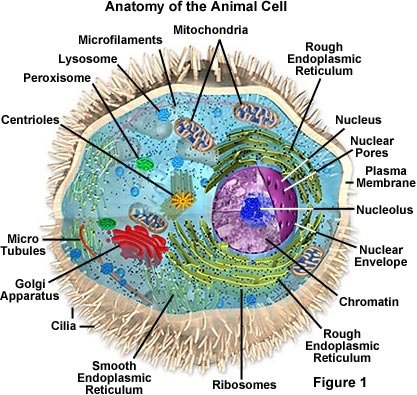picture of animal cell labeled. An animal cell labelled