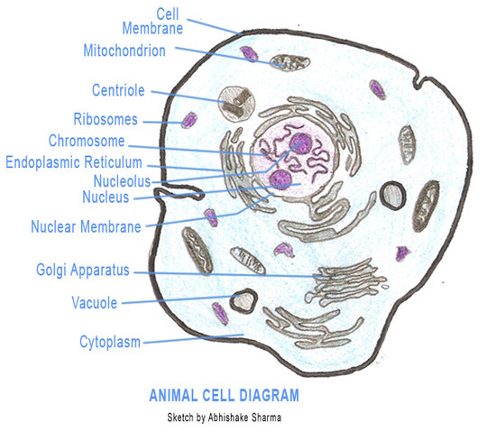 animal cell diagram. animal cell diagram without