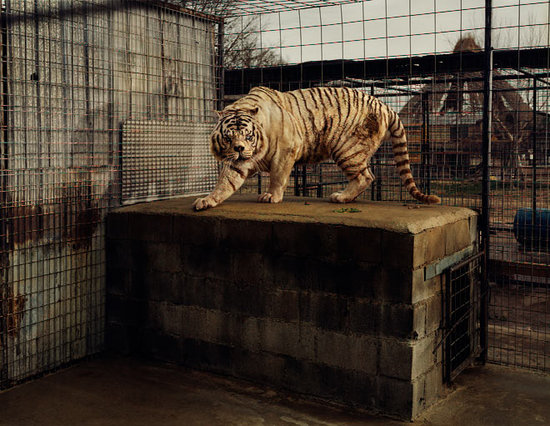 deformed white tiger pictures. deformed white tigers.
