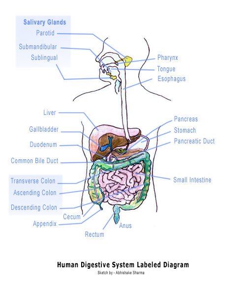human digestive system diagram labeled. digestive system diagram