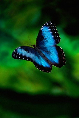 wallpaper blue butterfly. hot Blue Butterfly iPhone
