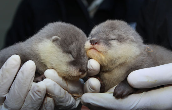Asian Babies For Sale Baby Asian Otters Welcomed to